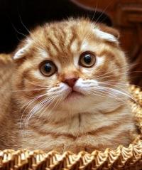 Шотладские Кошки-И-Котята