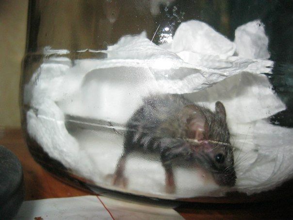 Образование сперматоцитов у самца домовой мыши