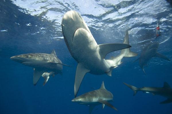 ...прожорливые акулы ходят кругами в поисках жертвы.  В этой игре знание...