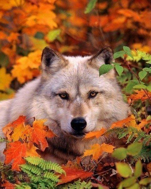 Волк-волчара!