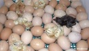 Остальные появились в течение следующих 5-ти дней.  Сразу после появления из яйца их советуют пересаживать в ясли...