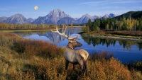 На красочном фото багряная осень, синяя водная гладь, горная гряда вдалеке и горделивый олень, увенчанный ветвистой...