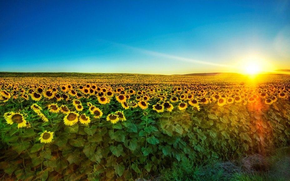 Жовто синє поле