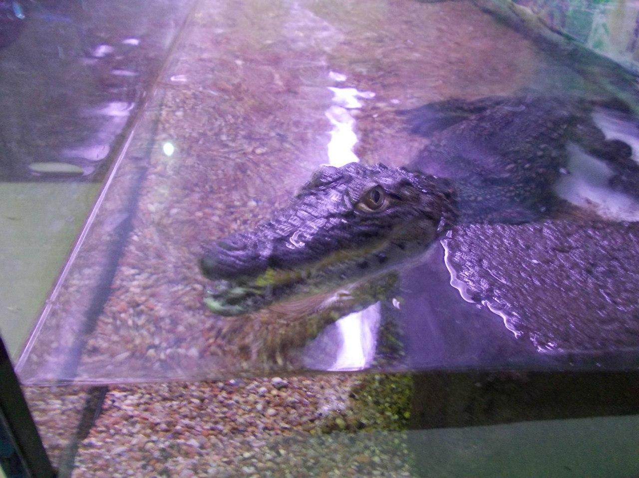 Нільський крокодил фото