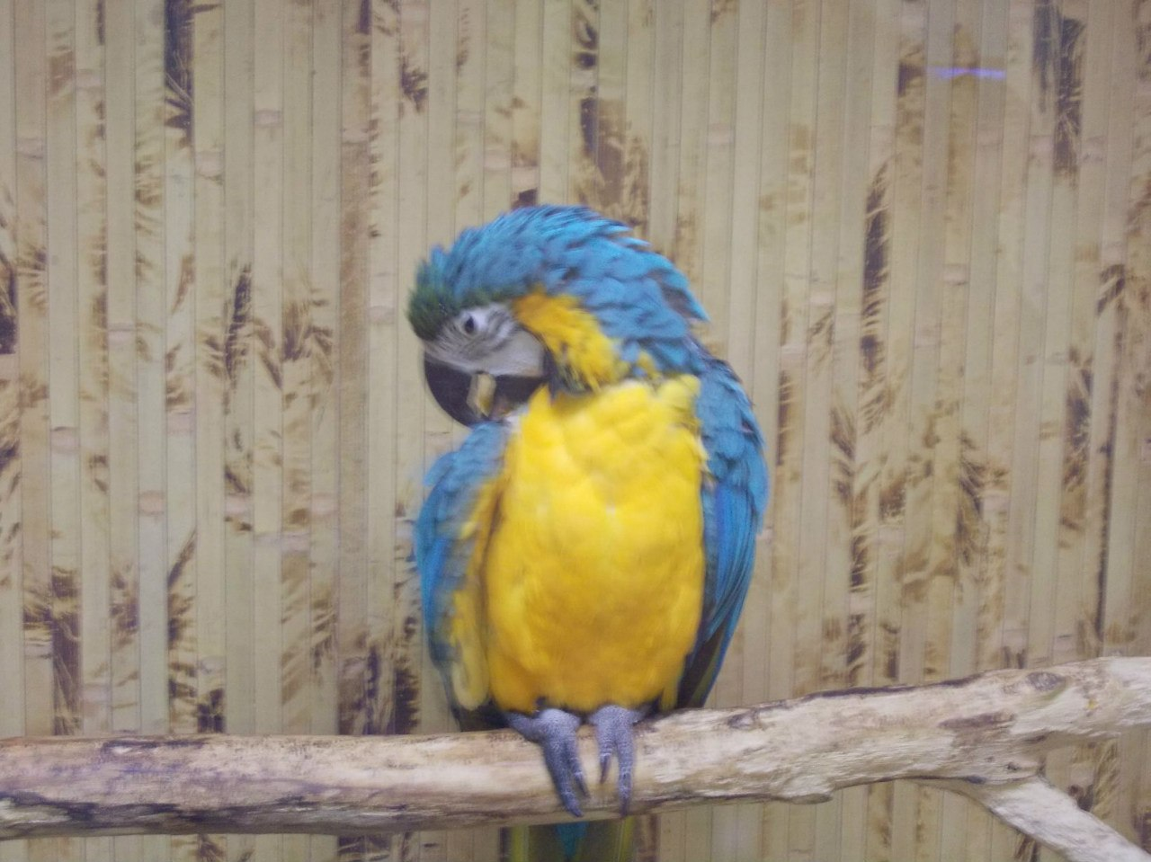 Папуга ара фото