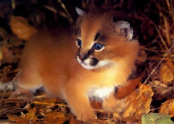 котенок рыси фото