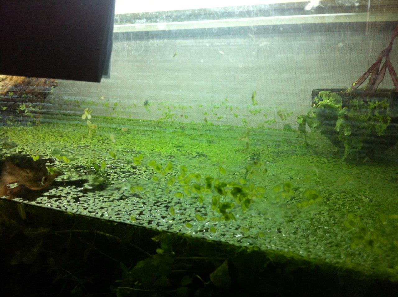 ряска аквариумная
