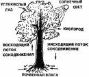 Строения дерева схема.