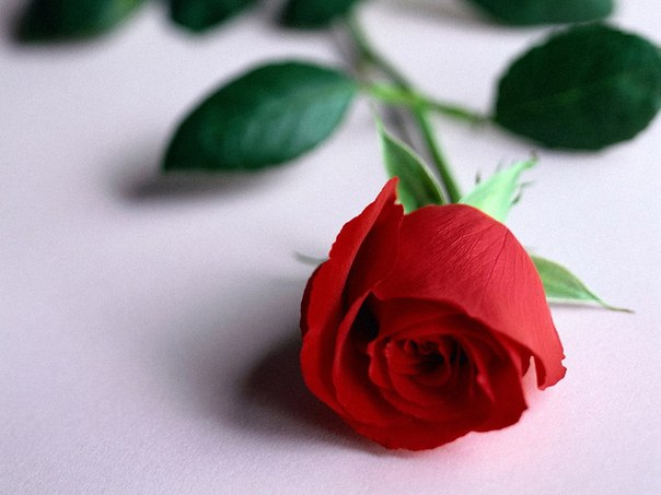 Роза vs Лилия