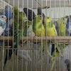 Попугайчики волнистые в Екатеринбурге