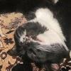 Barsic Blackcat