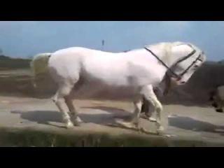 Drumps And Horse rhythm / Davul Eşliğinde Ritim Tutan At