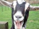 В США из детского зоопарка в городе Сан-Диегоукрали козла - камеры наблюдения зафиксировали, как ночью женщина...
