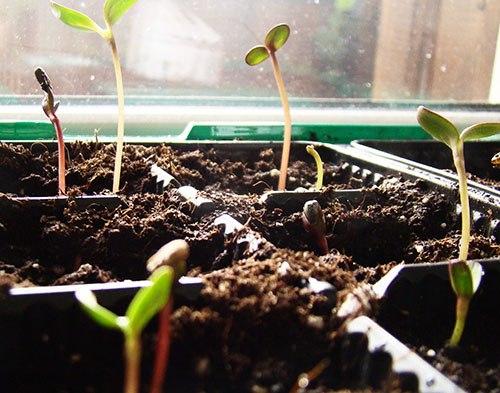 Антуриум выращивание из семян когда сажать 73
