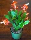 """Если декабристы (шлюмбергеры) - из магазина, то они обычно  """"накачаны """" для цветения, т.е. почти произведена  """"выгонка """"..."""