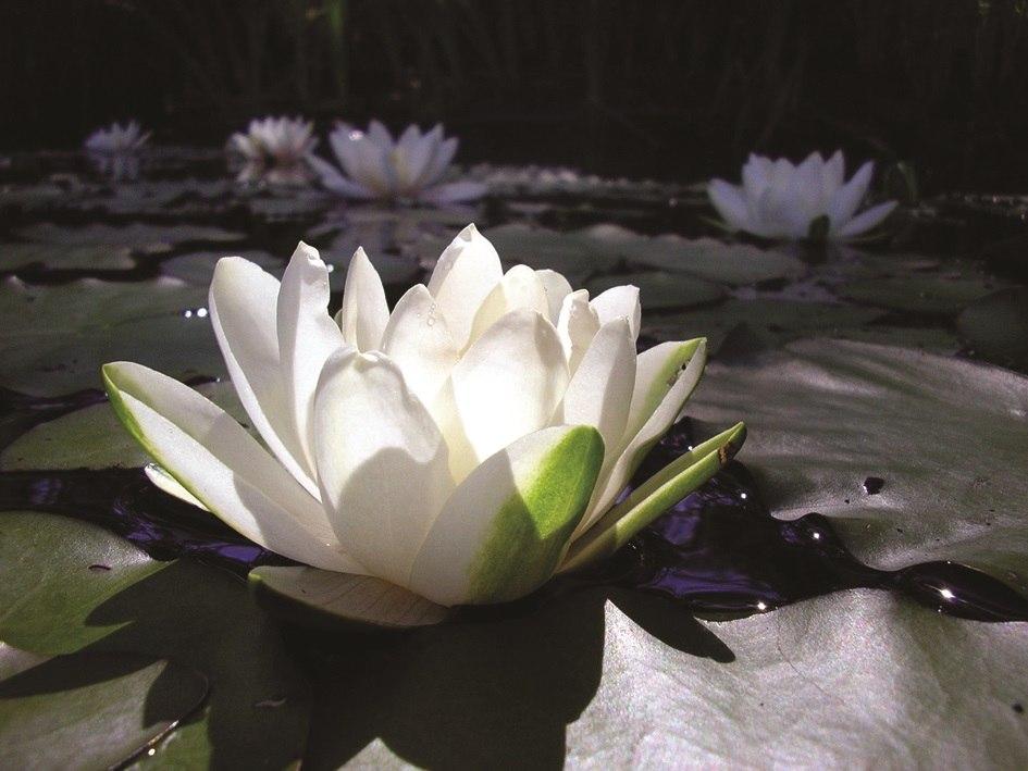 Еще несколько лет назад на наших водоёмах можно было встретить лилии. Теперь они исчезают - в реке Карамыш их уже нет.