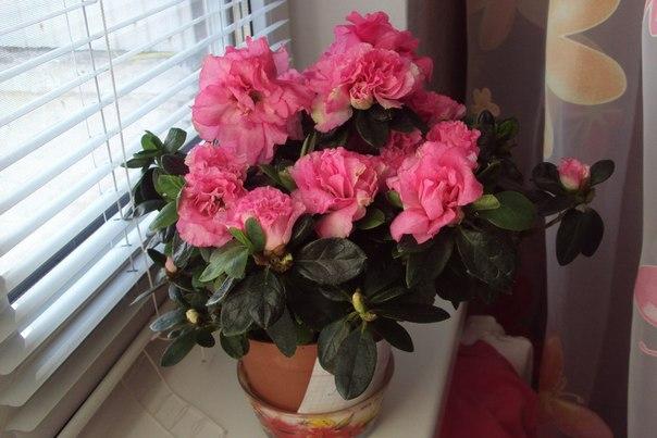 Красивые цветущие комнатные цветы фото