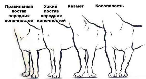 грудь у собаки