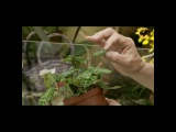 Уход за орхидеей в домашних условиях ч.1 (видео урок) [zhezelru]