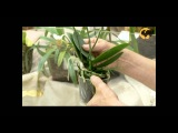 Уход за орхидеей в домашних условиях ч.2 (видео урок) [zhezelru]