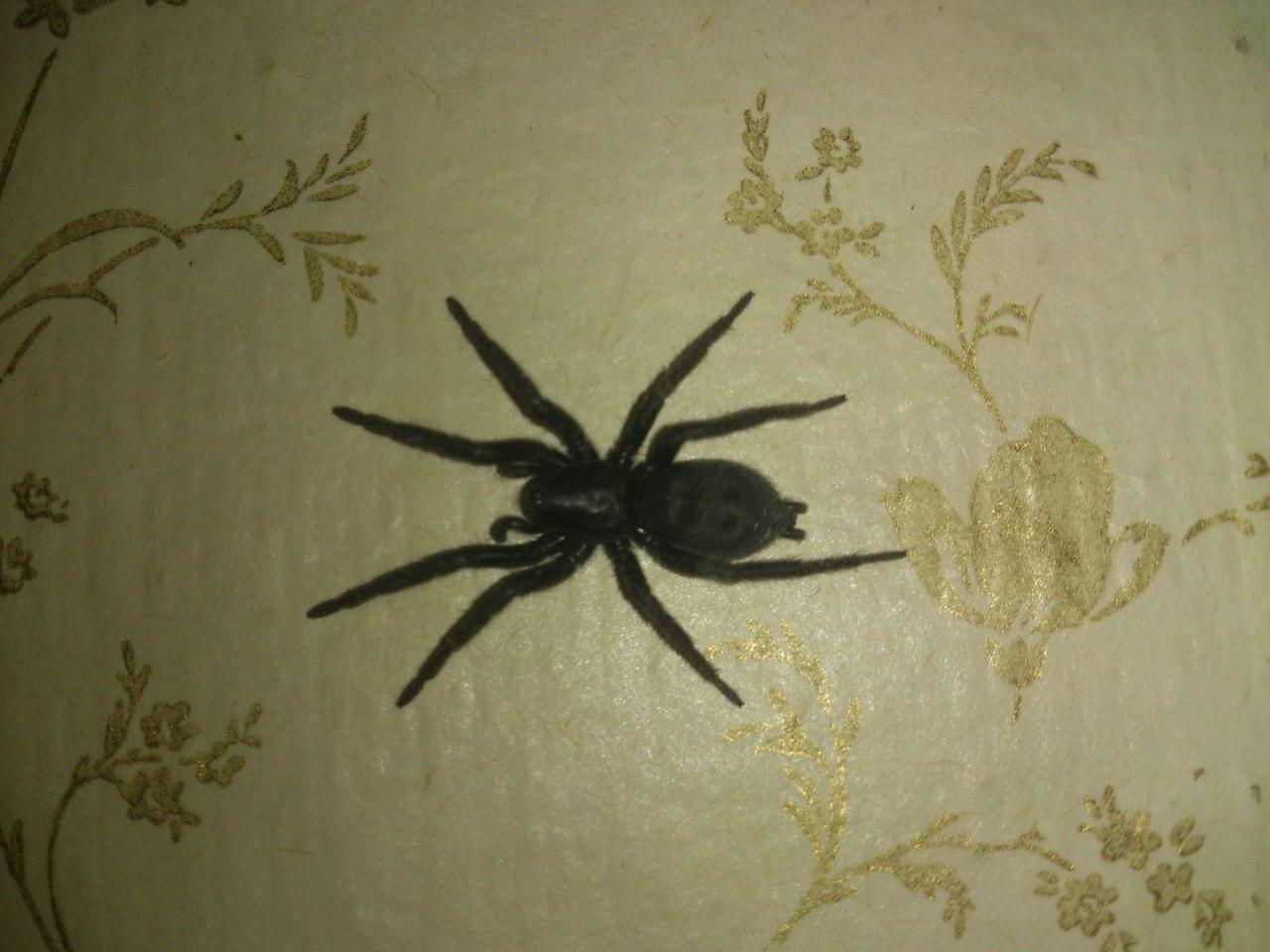 пауки большие фото квартире черные в