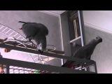 Попугай любит - жако Гриша 2013 (16)