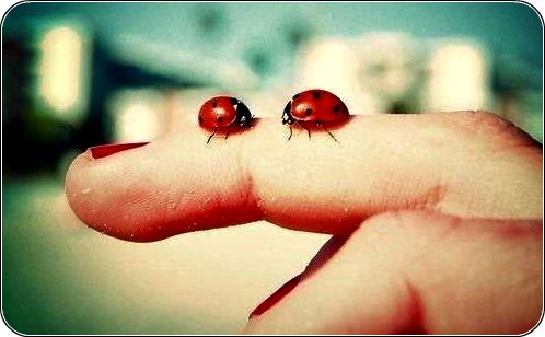 Божа корівка, сонечко, червоний жук з чорними цятками на руці