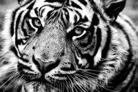 Опубликовал.  Юки-тян.  Тигр.  Животные Птицы.