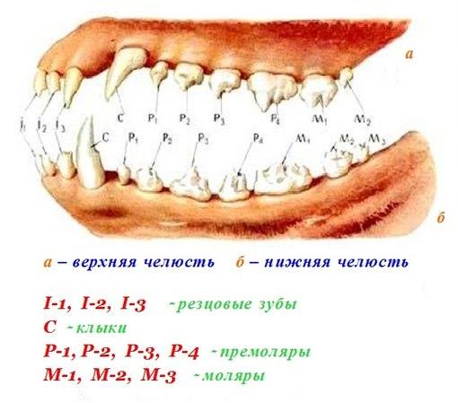 К чему снится выпали нижние зубы
