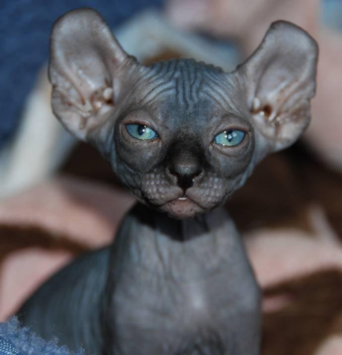 Картинки голых кошек 5