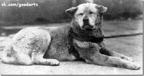 пёс Хатико фото