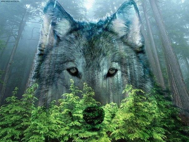 фото волков на аву: