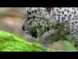 Впервые в истории дикие переднеазиатские леопарды дали потомство в неволе - Первый канал