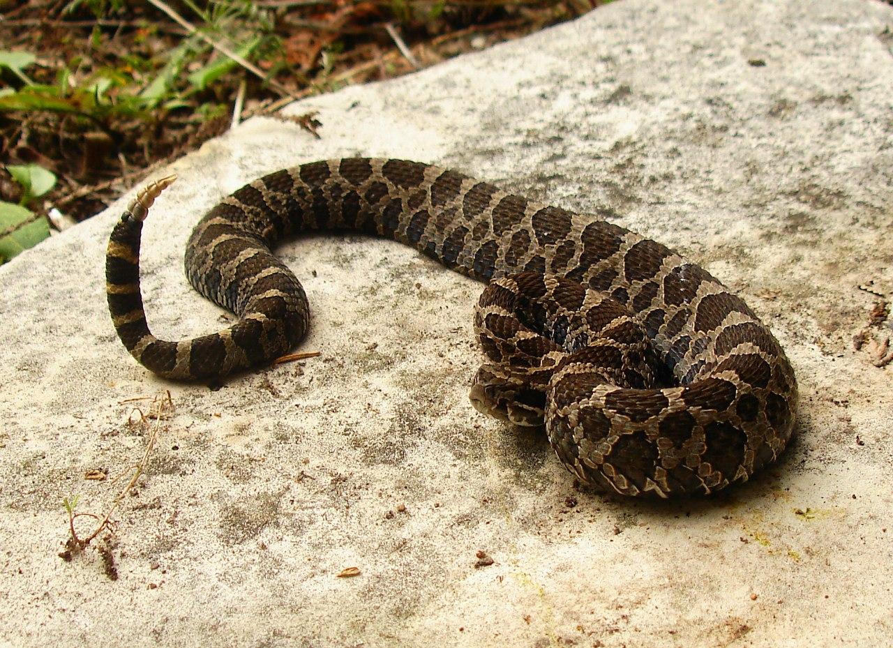 Карликовая гремучая змея