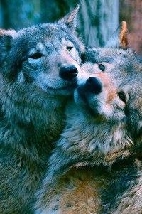 Цитаты и высказывания о волчьей любви