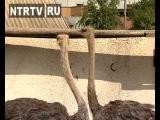 В Нижнекамском районе на подворье одного из сельчан поселились страусы