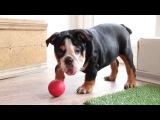 English Bulldog Tricolor puppies for sale