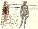 Наиболее существенная роль нервной системы- регуляция различных функций организма.  Это осуществляется путем: (1)...