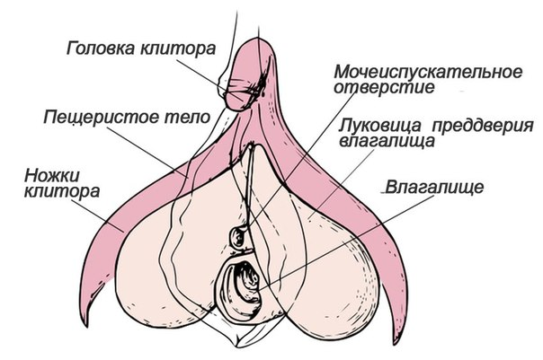 Научное описание клитора фото фото 343-185