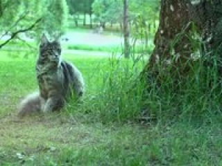 Кошка мейн-кун Hana Grey Claw`s голубой мраморный в 10 месяцев