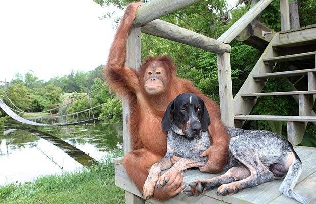 Орангутан и собака