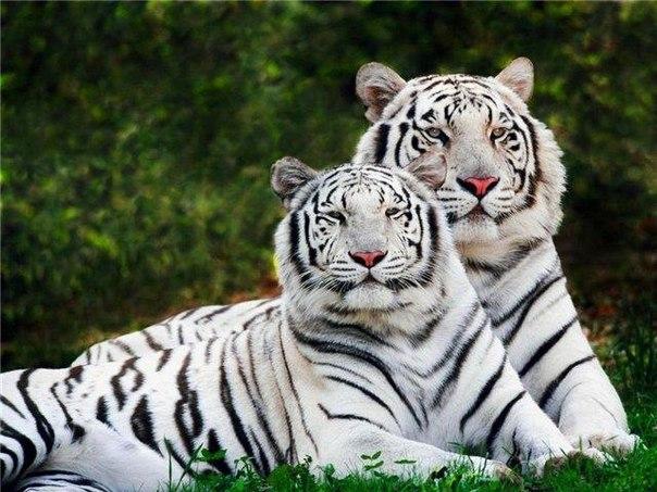 Белый тигр напал на служителя зоопарка в столице Чили Сантьяго и нанес ему...