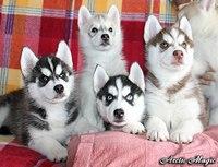 Породистые щенки Сибирской хаски.  3 мес.