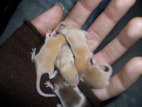мышкам 9 дней автор Canis