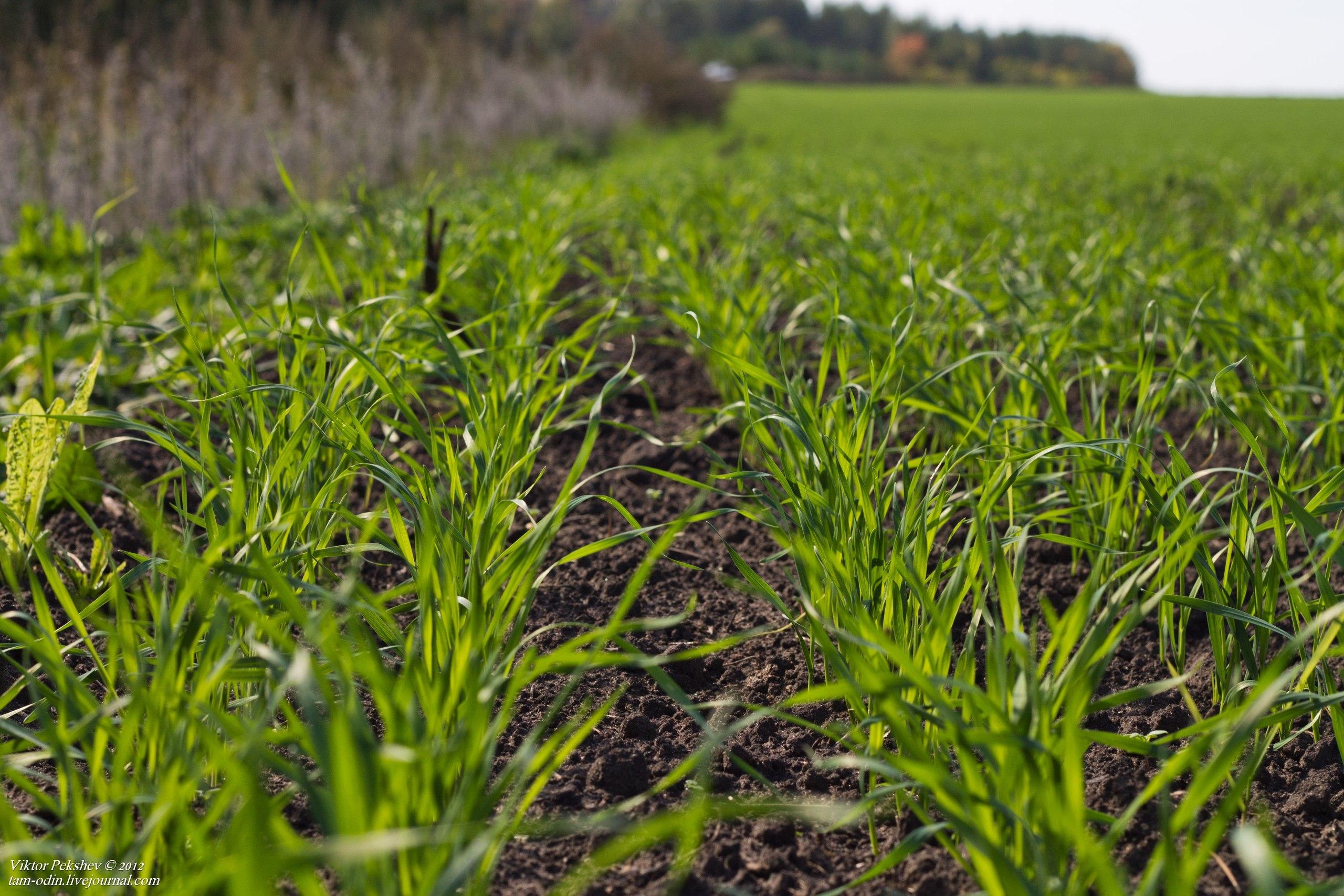 Украина увеличила площади посевов озимой пшеницы под урожай 2015