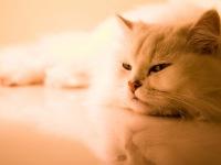 Кошки мэйкун цена в Костроме.