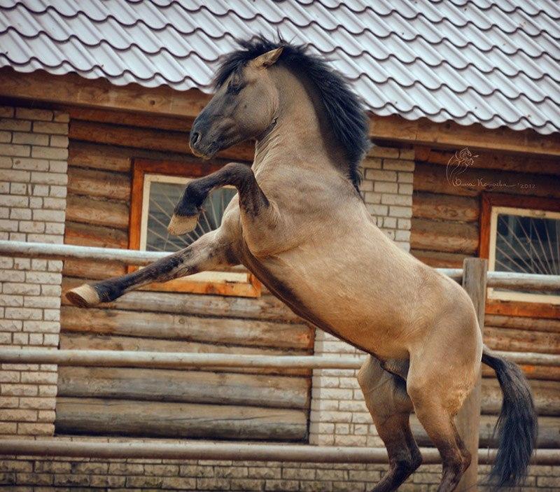 Казбек - мышастый красавец)