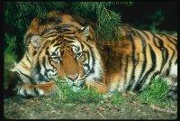 Тигрица Нежность