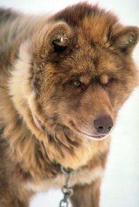 Описание:Эскимосская лайка, известная с древнейших времен, относится к...