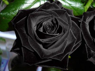 Купить чёрные розы новосибирск